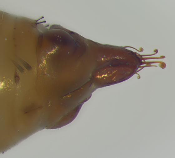 Geometridae, spent pupal case, cremaster - Eupithecia miserulata