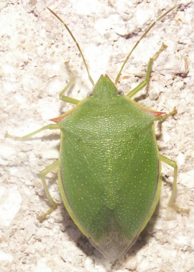 Green with red epaulets - Loxa flavicollis