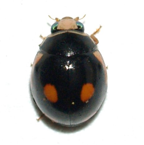 Coccinellidae  - Hyperaspis lateralis - male