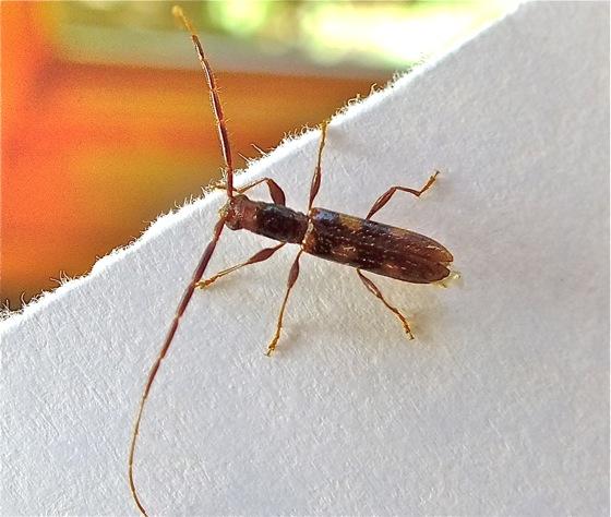 Small Long-horned Beetle - Heterachthes quadrimaculatus