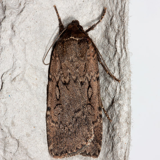 Clandestine Dart - Hodges#10926 - Spaelotis clandestina