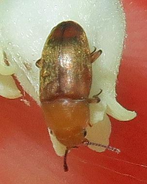 Erotylidae? - Antherophagus ochraceus