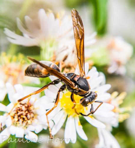 Male Polistes - Polistes fuscatus - male