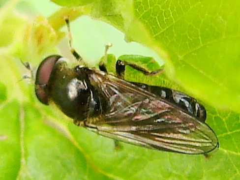 Fly - Pipiza - male
