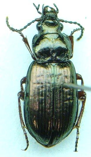 Carabid - Stereocerus rubripes