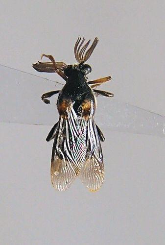 Ripiphorus - Ripiphorus fasciatus-complex