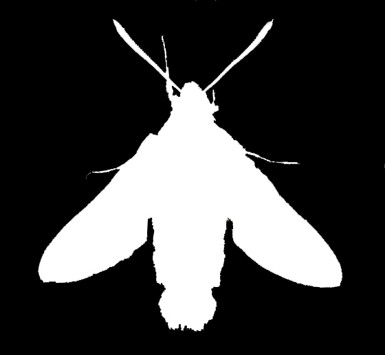 Sphinx Moth Silhouette 2
