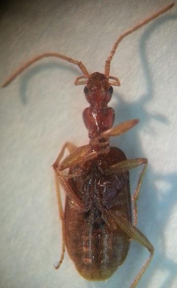 Carabidae - Thalpius