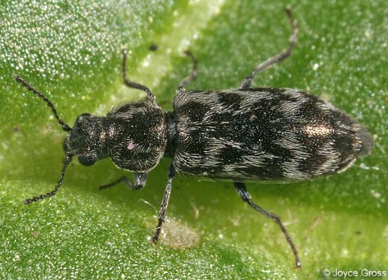 beetle - Listrus