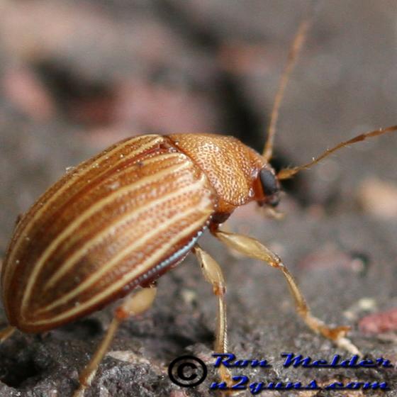 Leaf Beetle - Colaspis recurva