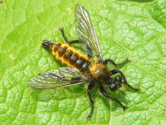 fly - Laphria sericea - male