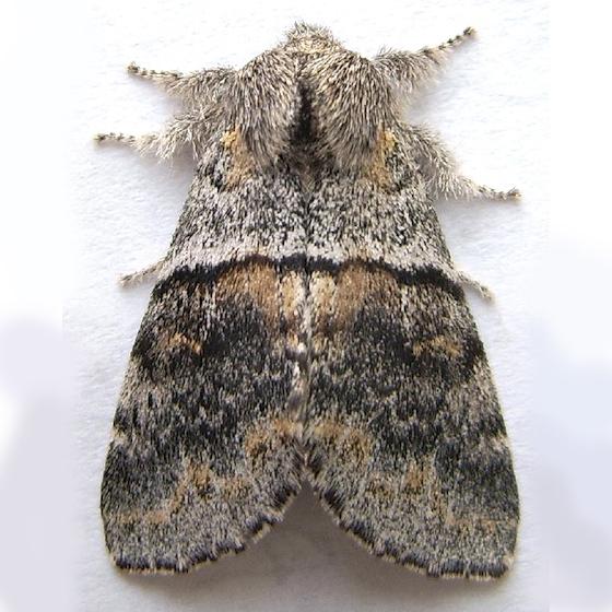 Gluphisia severa - female