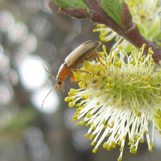 Coleoptera 02a - Orsodacne atra