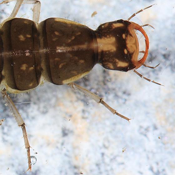 Predacious Diving Beetle larva - Ilybius