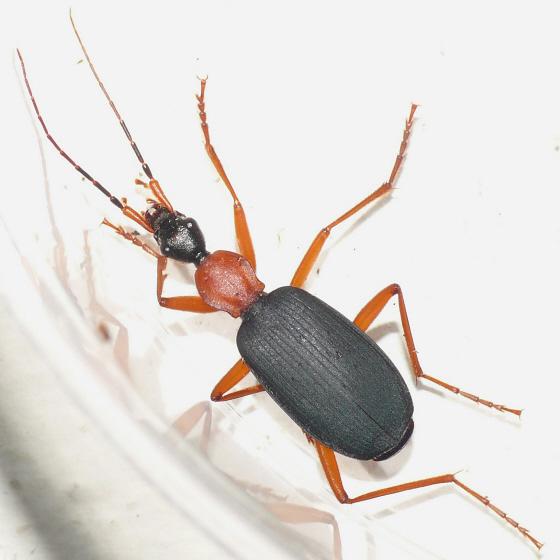 Ground beetle 10.05.10 - Galerita bicolor
