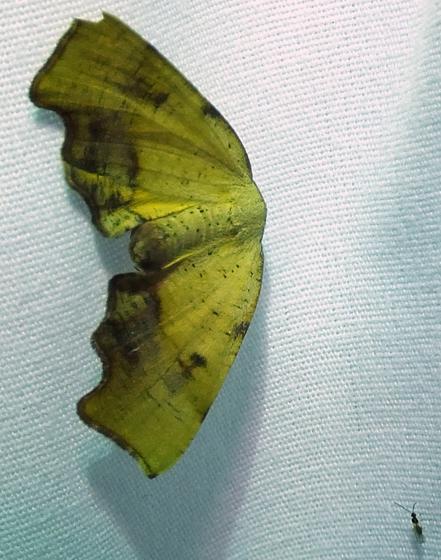 Moth and wasp - Plagodis fervidaria