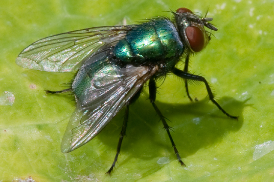 Blow Fly Calliphoridae Lucilia Sericata Bugguide Net