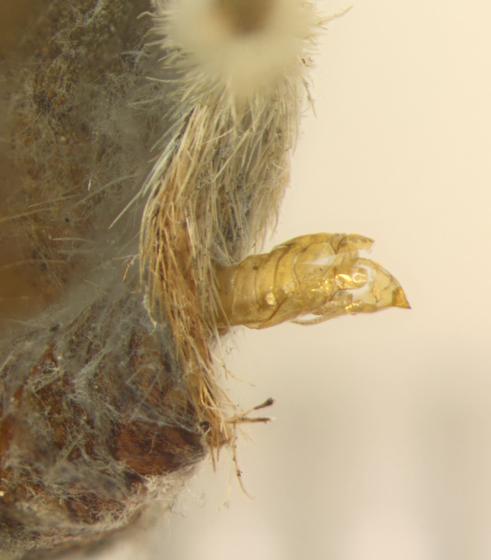 Porphyrosela desmodiella, spent pupal case - Porphyrosela desmodiella