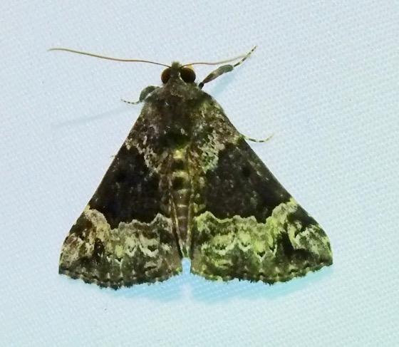 Mottled Hypena - Hypena palparia