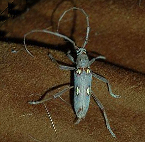 One body section, long feelers, six legs, bluish grey in color. - Eburia distincta