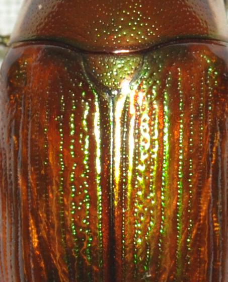 May beetle with iridescence - Anomala marginata