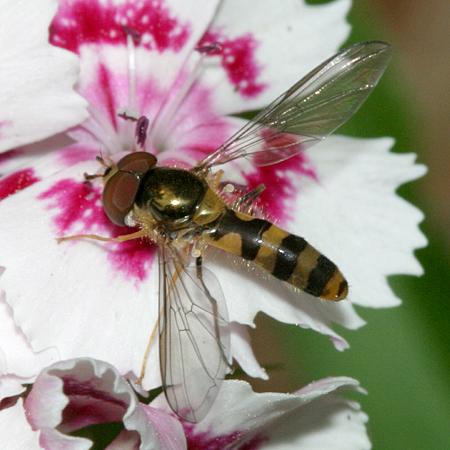 Syrphid Fly - Meliscaeva cinctella - male