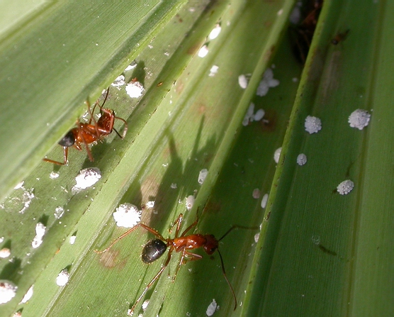 Ants, scales, and phorid fly? - Apocephalus frameatus