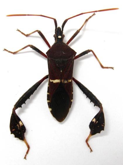 leaf-footed bug - Leptoglossus phyllopus