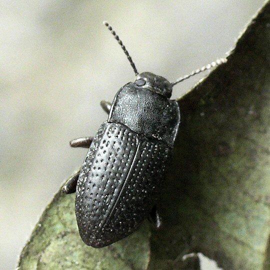 Opatrinus pullus or minimus? - Alaetrinus minimus