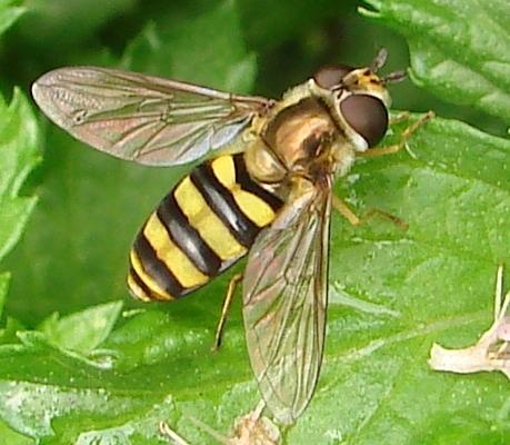 Syrphid fly - Eupeodes americanus