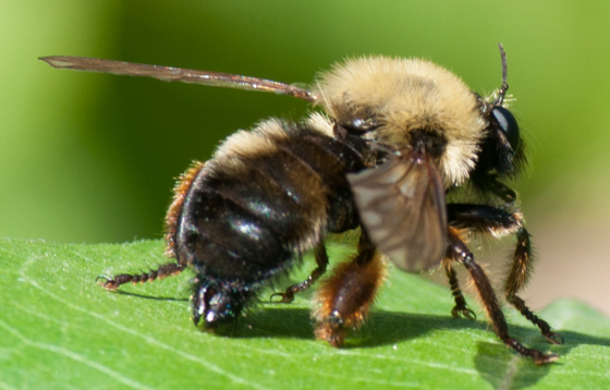 Fly - Bombus mimic - Laphria thoracica
