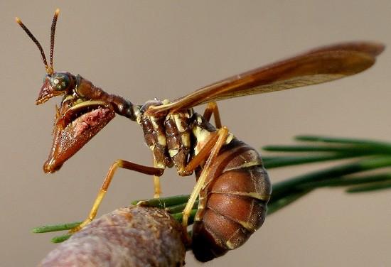 mantisfly - Climaciella brunnea