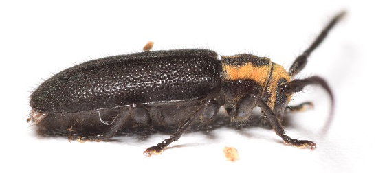 Hemierana marginata marginata - Eupogonius subarmatus