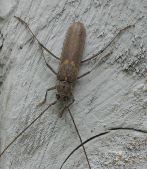 a beetle - Knulliana cincta