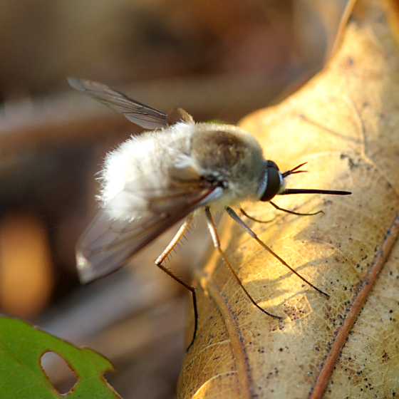 White Bee Fly - Bombylius incanus