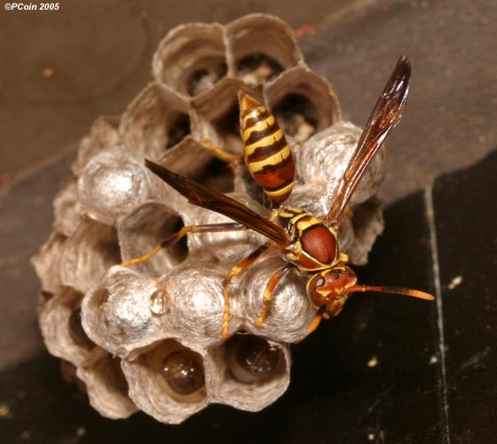 Paper Wasp - Polistes exclamans - female