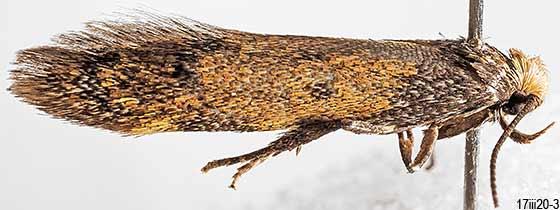 moth - Gerdana caritella - female