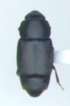 Carpophilus brachypterus