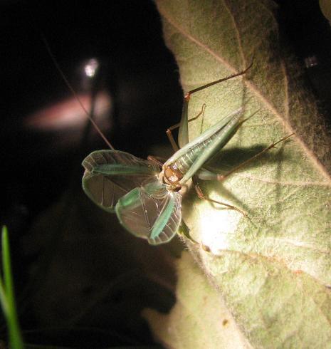 Singing male Pine Tree Cricket - Oecanthus pini - male