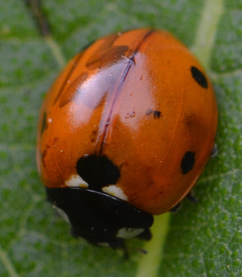 lady beetle~species? - Coccinella septempunctata
