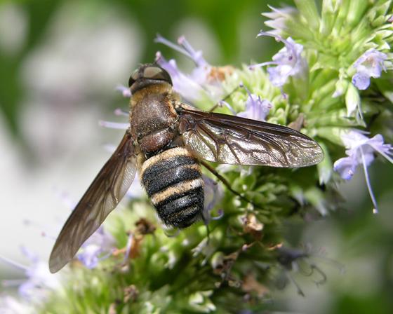 Exoprosopa fasciata