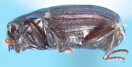 Histerid - Peploglyptus belfragei