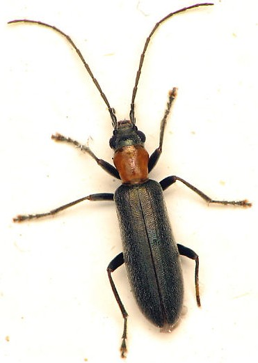 Small Beetle - Oxycopis thoracica