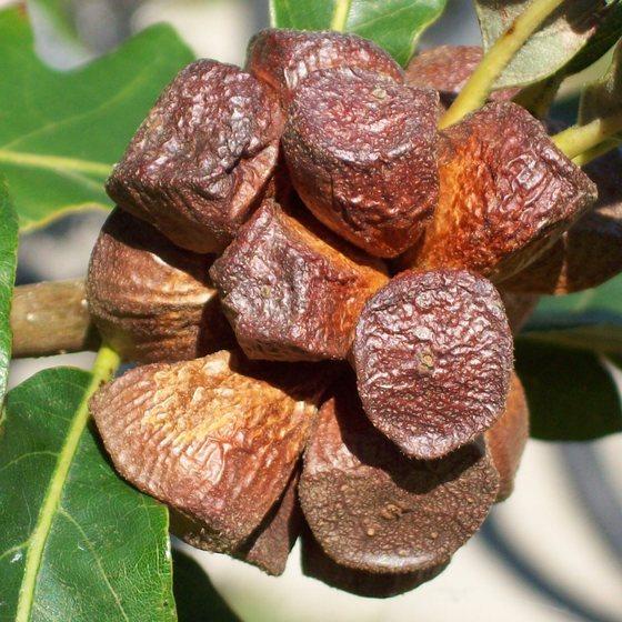 Oak gall final color stage. - Andricus quercusstrobilanus