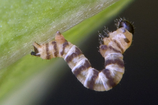 Life cycle of a White-tipped Black: second instar - Melanchroia chephise