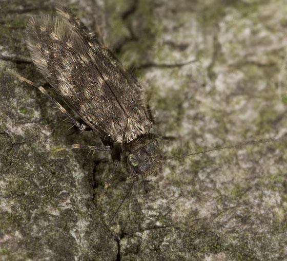 Insect 2337 - Echmepteryx hageni