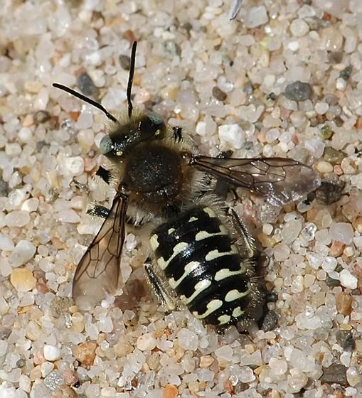 Anthidium palliventre - male