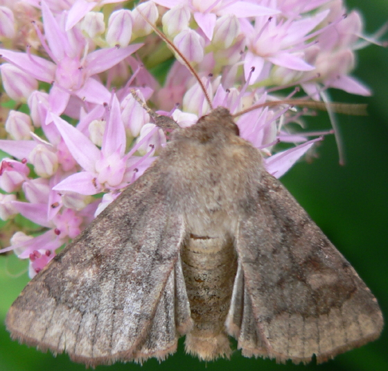Bronzed Cutworm Moth - Nephelodes minians