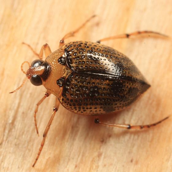 Crawling Water Beetle - Peltodytes edentulus