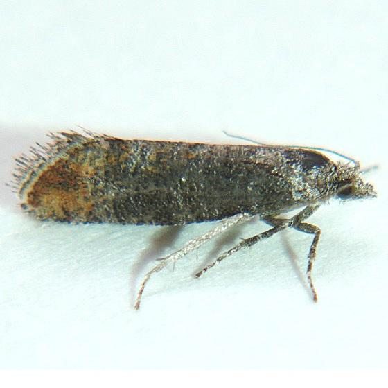 Rhyacionia zozana - Hodges #2872 - Rhyacionia fumosana
